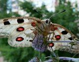 Аполлон (Parnassius apollo) – дневная бабочка семейства Парусники.  Занесена в Красную книгу.