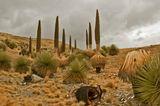 Puya Raimondi-семейство юкковых,описаны французским ботаником Раймонди,произрастают в2-3 местах вПеру и Боливии на высоте 4000-5000м.достигают высоты 10-20м