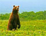 Весна в тундру проходит всегда неожиданно- только-что землю прихватывал не слабенький мороз, но  вдруг выглядывает жаркое солнце и через несколько дней вся тундра сразу покрывается цветочным ковром. Для только что проснувшегося медведя наступает время неясного душевного томления: аромат первых цветов и волнующий запах недавно прошедшей здесь медведицы заставляют его с силой втягивать в себя влажный воздух и тревожно оглядываться