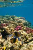 Малек ЛИМОННОГО ЛЕОПОЛЬДИТА (размер 3- 4 см), когда подрастет, станет такого же цвета, как его мама или папаhttp://www.lensart.ru/picture-pid-336f1.htmКрасное море