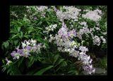 Сингапурский сад орхидей