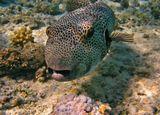 Пугливая малоподвижная рыба, встречающаяся на прибрежных рифах - самый крупный вид семейства. Живет на рифах с пещерами и крупными губками. Обычно их видят по одиночке. Питаются беспозвоночными, в основном иглокожими. Английское название отражает уникальную способность этих рыб надуваться водой или воздухом, как воздушный шар, чтобы отпугивать хищников. Кожа содержит сильный яд - тетродотоксин.Звездчатый аротрон (Giant puffer), Красное море