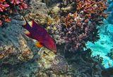 Вариола радужная – Variola Lyretail (лат. Variola louti)Также известен как: Лирохвостый групер - Moon grooper Красное море
