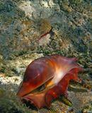 Принадлежит виду: Брюхоногие моллюскиНазвание: Лямбис трунката (лат. Lambis truncate)Семейство: Стромбида (лат. Strombidae)Размеры: высота до 300 ммВид: обычныйКрасное море