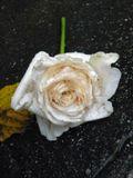 роза лежала под дождём когда я её увидела,она была прекрасна!