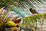 Снято в Таиланде.Иногда его ещё называют майнушкой.Собираются толпами и орут как торговки на рынке. Легко подражают голосам и могут разговаривать лучше попугаев.