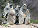 Лангуры, Национальный парк Сариска