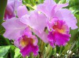 орхидеи, орхидея, цветы, цветок, красота, природа