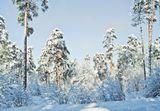 Зима, снег, лес , мороз