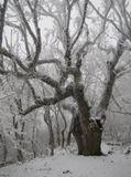 Случайно  на высокой горе обнаружила огромное дерево, обхват около 3 метров, высота.... даже затрудняюсь сказать сколько метров...