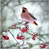 Плоды рябины являются излюбленной пищей ряда птиц (Vogelbeere — «птичья ягода» или Drosselbeere — «ягода дроздов»).Латинское наименование рябины обыкновенной — Sorbus aucuparia — тоже связано с птицами (avis (au) переводится с латыни как «птица», а сареге означает «ловить»), так как ягоды широко использовались в качестве приманки для ловли дроздов.