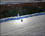 Белые полярные куропатки