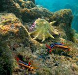 Хромодорис Четыхцветный ( Голожаберный моллюск),  Лямбис Трунката (Брюхоногий моллюск) Красное море