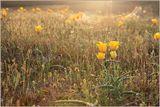 Дикие степные тюльпаны в закатной дымке.