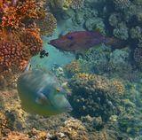 Расписной Алутер ( Scribbled Leatherjacket - Aluterus Scriptus)Однорогая рыба-носорог (Short-nose unicornfish), Красное море
