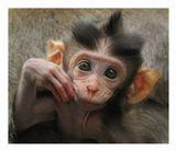 макак-крабоед интересуетсяMacaca fascicularis, о. Бали, Индонезия