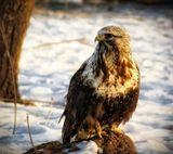 Канюк-зимняк – хищная птица из семейства ястребиных размером крупнее вороны. Зимняк или мохноногий канюк похож на обыкновенного канюка, но несколько крупнее и светлее его. Очень красив. Хвост беловатый с широкой тёмной полосой по краю. Питается мышевидными грызунами, изредка птицами. Добычу высматривает с воздуха. Может останавливаться в полёте, часто взмахивая крыльями, подобно пустельге.