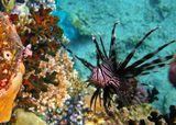 http://www.youtube.com/watch?v=orqBbW-Syc0&feature=relatedТубастрея (Tubastraea sp.) – солнечный коралл, Крылатка- Зебра.Красное море