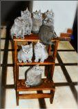 Кошка Маргошка принесла восемь(!) котят-британцев. Дом оккупировали дурдомовцы! Помогите!;)