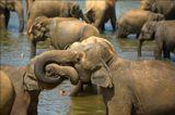 Слоны на Шри-Ланке.