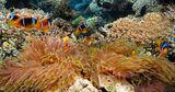 Амфиприоны: клоуны подводного мира Красного моря