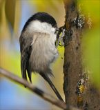 гаичка, природа, птицы, синицы, фотоохота