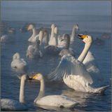 Кладезь информации про Лебедей на Алтае, тут - http://altai-photo.ru/stuff/vodnaja_stikhija/ozjora/ozero_lebedinoe/9-1-0-50