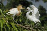 о.Бали, Индонезия восточная египетская цапля, Bubulcus ibis coromandus