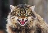Кот говорящий, повышенной пушистости, отличается умом и отменным аппетитом