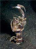 """Сев.Сулавеси, пролив ЛембехLysiosquillina maculata - zebra mantis shrimpПолосатая креветка-богомолДостигает длины 38 см, вертикально сидит в """"собственноручно"""" вырытой норе, обычно наружу торчат только глаза и верхняя часть клешней.  От собратьев отличается бОльшим размером и бОльшим числом зубьев на конце хищного когтя, этим когтем креветка ловит и удерживает добычу. На снимке заснят момент охоты, рыбка, правда, подсадная :)"""