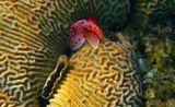 Голожаберный Моллюск Ресбеция Хорошенькая, Каменистый Коралл, Красное море