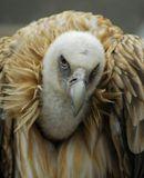 Белоголовый орлан (Haliaeetus leucocephalus).