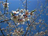 Цветущая 7 мая в подмосковном городе Железногорске вишня.