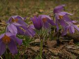 Весна.Сон-трава.