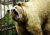 Хозяин Хаджохской Теснины(Адыгея)-медведь Тимофей