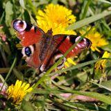 макро,природа,бабочка,насекомые
