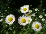 Цветы,природа,ромашки