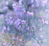 Шестилепестковый цветок багульника считается счастливым!Пусть фотография принесёт вам счастье!