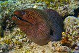 Модель: Гигантская Мурена, Визажист: Матушка- ПриродаФотостудия Посейдона, Красное мореГигантская Мурена – рыба семейства угревых. Достигает в длину 3 метров и веса 10 кг.Обитают на самом дне, прячась в расселинах. Днем, как правило, не проявляет большой активности, предпочитая кормиться с наступлением темноты. Рацион питания составляют рыбы и ракообразные. Иногда нападают на осьминогов.