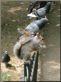 белка, голуби, завтрак, Лондон, St. James park