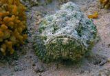 Открыла сегодня свои папки с фотографиями, а мне все мои рыбки улыбаются и с Днем Рождения поздравляют  :)))Скорпенопсис, Красное море