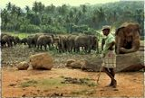 Шри-Ланка.Во всем мире слонов считают спокойными и разумными животными – но это мнение отнюдь не разделяют те люди, для которых слоны не в диковинку.Слоны, разгуливающие на воле - серьезная опасность для жизни людей. В поисках пищи слоны забредают на фермы, уничтожая урожай и причиняя серьезный вред жилищам.В результате многочисленных жалоб населения властями было принято решение ограничить свободу слонов и отвести для них свою зону – заповедник в национальном парке Уилпатту