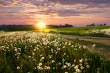 Вечер закат солнца, поле с одуванчмками