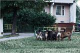 ..дайте собакам мясо - пусть они подерутся.. .