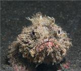 Сев.Сулавеси, ЛембехМестный вид скорпены. Очень обаятельные и смышленые рыбки :)