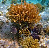 Ядовитые Морские Ежи Трипнеустесы на коралле. В природе преимущественно растительноядны, охотятся, также на различных некрупных планктонных и донных беспозвоночных, убивая их ядом своих педицеллярий. Посмотреть Ёжика поближе можно здесь:http://content.foto.mail.ru/mail/mvmil56/4069/s-4168.jpg