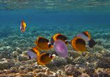 Полосатая Рыба- Бабочка, Нитепёрая Рыба- Бабочка, Ушастая Медуза.Красное море