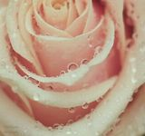 flowers цветы розы роза roses макро macro капли drops