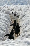 От места кладки до места кормежки пингвины ходят одними и теми же тропами, постепенно утаптывая снег до состояния окопов)