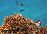 Красноспинная Рыба- Бабочка, Красное море